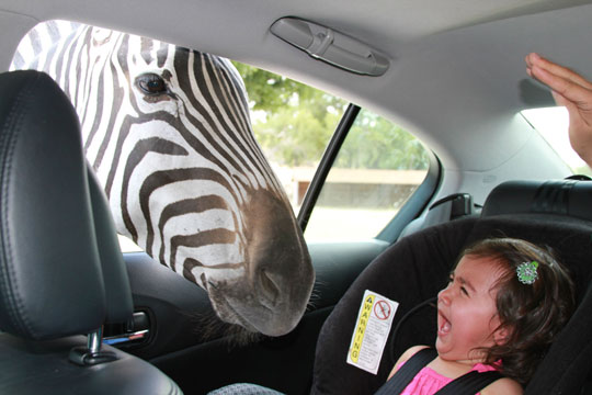 funny-zebra-window-crying-little-girl